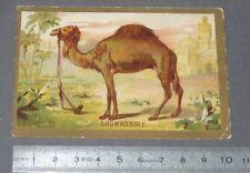 CHROMO 1880-1900 BON-POINT IMAGE ECOLE DROMADAIRE