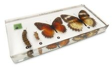 Butterfly Development Lifecycle Life Cycle Specimen Acrylic Block Educational