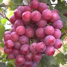 30 Fresh Seeds Giant Red Globe Grape Vine Sweet Huge Large Variety Fruit Plant