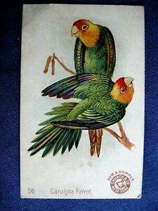 Victorian Trade Card Church Arm & Hammer #56 Carolina Parrot BEAUTIFUL Birds C6