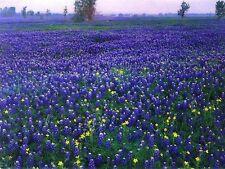 40+ BLUE LUPINUS FLOWER SEEDS / TEXAS BLUEBONNET / WATER, HEAT TOLERANT / LUPINE