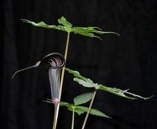 Arisaema polyphyllum Rare Amorphophallus Arum Exotic Flower Lily Bulb