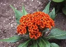 50 Cockscomb Celosia Seeds Jessica Orange Seeds