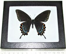 REAL FRAMED BUTTERFLY BLACK FORM FEMALE TIGER SWALLOWTAIL PAPILIO GLAUCUS