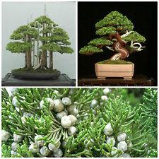 10 semi di Juniperus Chinensis, Ginepro cinese, semi bonsai