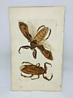 Great Nepa Bug - 1783 RARE SHAW & NODDER Hand Colored Copper Engraving