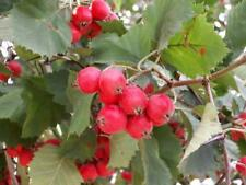 Crataegus Submollis shrub Seeds from Ukraine