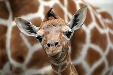 A1 | Baby Giraffe Poster Art Print 60 x 90cm 180gsm Wild Animal Cute Gift #12323