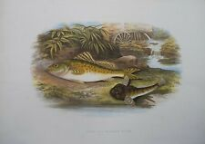 """Fish - Ruffe & Miller'S Thumb For Houghton'S """"Fresh Water Fishes"""", 1879"""