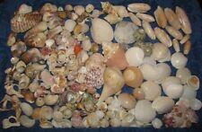 """Natural Beach Seashells Aquarium Craft Mixed Lot Colors Sizes up to 2"""""""
