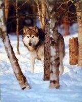Grey Wolf in Snow Animal Nature Wildlife Wall Decor Art Print Poster (16x20)
