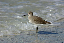 FABULOUS  WILLET SANDPIPER FINE ART GREETING CARD