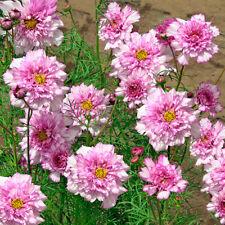 Cosmos-Doble clic bi-colour Rosa - 20 Semillas