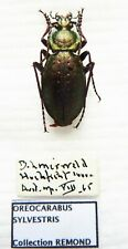 Carabus oreocarabus sylvestris (male A1 but was pinned) from AUSTRIA