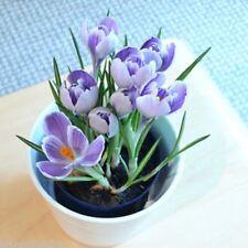 100Pcs Crocus Seeds Sativus Flower Bulbs Saffron Flowers Get Best Spice Organic