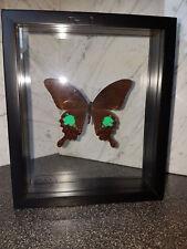 Papilio Paris Wunderschöner Schmetterling beidseitig UV-Schutzglas- Schaukasten