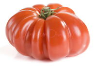 Heirloom Mortgage Lifter TOMATO Organic 40+seeds 2+LB  furit Extra- Large Flavor