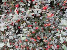 Cotoneaster franchetii - Superb Hedging Plants in 9cm Pots