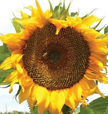 Sunflower Seed Giant Russian 25 Seeds Grow To 2m High