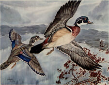 """CHARLES DEFEO - WOOD DUCK -  Hunting Duck Print 11x14"""" Exc Condition"""