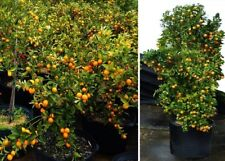 Mandarinen exotische große Pflanzen Duft für das Haus Exot essbare Zimmerpflanze