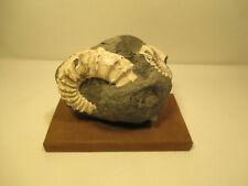 Versteinerung/Fossil su Lastra di Legno