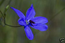 Blue Grass Lily Seed Native Small Plant Brilliant Blue Flower Rockeries Hardy