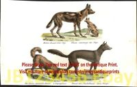 African Painted Dog Wild Dog, Dingo & Spaniel, Antique 1842 Engraving Print