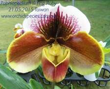 QOB Orchid Plant! Gorgeous Red Complex Paphiopedilum Yi Ying Ruby 90 mm pot
