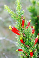 Candle Cranberry Seed - Astroloma foliosum Small Hardy Evergreen Shrub
