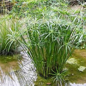 Cyperus alternifolius (Umbrella plant) bare root marginal pond plant.