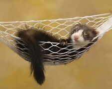 Ferret Relaxing 8 x 10 GLOSSY Photo Picture