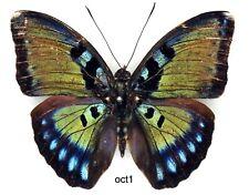Butterfly - 1 x mounted male SCARCE Bebearia octogramma (A1-)