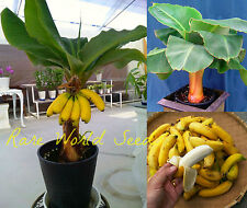 "Musa ""Novak"" Super Dwarf Miniature BANANA tree: grows only 3-4' tall!! SEEDS."