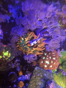 RARE!!! Reef Atlas Atlanta Starfire Bubble Tip Anemone Live Coral Free Shipping!