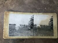 victorian stereoview . the avon cattle !