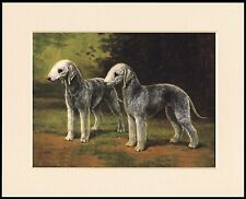 BEDLINGTON TERRIER TWO DOGS LOVELY DOG PRINT MOUNTED READY TO FRAME