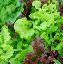 500 Lettuce Baby Leaf Mixed Seeds  FREE DELIVERY