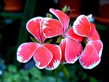 Kokosduftgeranie, Pelargonie, Geranie essbare Blüten, bunte Deko, Kokos,PFLANZE