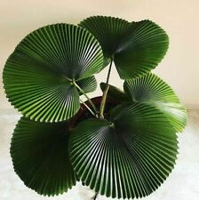 * VERY RARE* Unique Parasol Palm (Licuala Orbicularis), Fanned Leaves Palm Seeds