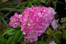 Hydrangea paniculata Sundae Fraise-Hydrangea Sundae Fraise Plant in 9 cm pot