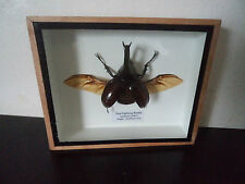 Taxidermy Real Thai Fighting Beetle Boxed Display Zoology Entomology Science