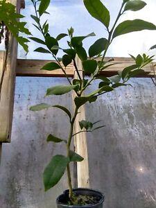 Meyer Lemon Tree. 1 gallon pot. Inside or outside plant. Easy to grow.