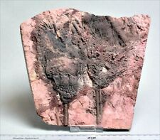 More details for very large crinoid fossil in natural matrix. 410 m.y.o. 2465