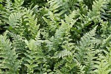 6 x Fern Jumbo Plug Plants 'Dryopteris Mexica' Perennial Shade Lover