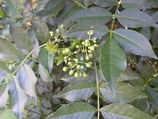 POIVRE ROUGE szechuanpfeffer (Zanthoxylum piperitum) Citron Poivre dureté