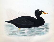 SURF SCOTER, DUCK, Beverley Morris original antique bird print 1855