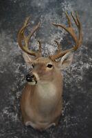 SKU 1511 Whitetail Deer Taxidermy Shoulder Mount Double Split G-2's
