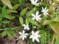 Lot Of 30 Beautiful White Flowers The Star of Bethlehem Ornithogalum umbellatum