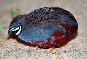 24 Chinese Painted Quail Eggs(American Bloodlines) believed fertile